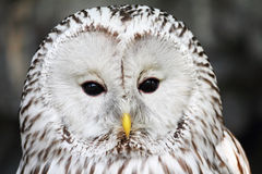 Close-up portrait of long-tailed tawny owl. (Strix uralensis royalty free stock images