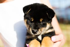 Portrait of lovely japanese black and tan shiba inu puppy stitting outside royalty free stock photography