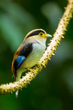 Close up portrait of Lovely Silver-breasted Broadbill Stock Photography