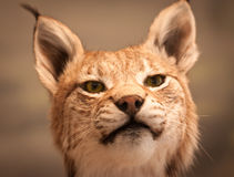 Close-up portrait of Lynx stock photo