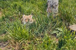Close-up portrait of lynx. Portrait of Eurasian Lynx on green grass Royalty Free Stock Photos
