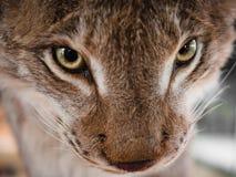 Close-up portrait of a lynx`s snout. Stock Photos
