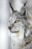 Close-up portrait of a lynx in the winter forest Stock Photos