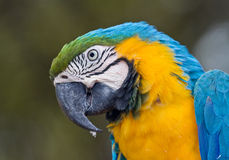 Close-up portrait of a Macaw Parrot. Portrait showing fine details of a tropical Macaw Parrot royalty free stock photography
