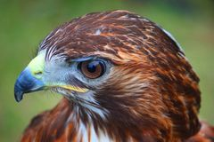 Close up portrait of a magnificent harris hawk Stock Photography