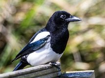 Close-up portrait of a Magpie. This common bird is ignored or even considered a nuisance but when seen close up it is quite a beautiful bird. It has a reputation royalty free stock photography