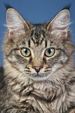 Close-up portrait of a Maine coon cat royalty free stock image
