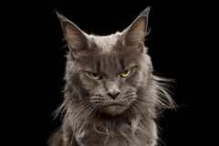 Close-up Portrait Maine Coon Cat on Black Background. Close-up Portrait of Angry Gray Maine Coon Cat Grumpy Looking in Camera Isolated on Black Background, Front Royalty Free Stock Photos
