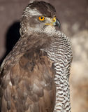 Close-up portrait of a majestic hawk Royalty Free Stock Photos