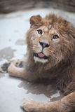 Close-up portrait of a majestic lion Royalty Free Stock Image