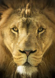Close Up Portrait Of A Majestic Lion King of Beast Royalty Free Stock Image