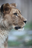 Close-up portrait of a majestic lioness. (Panthera Leo) in nature Stock Photos