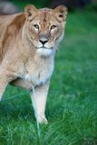 Close-up portrait of a majestic lioness Royalty Free Stock Photos