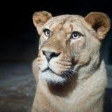 Close-up portrait of a majestic lioness Stock Photos