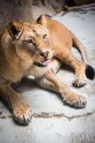 Close-up portrait of a majestic lioness Royalty Free Stock Images