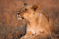 Close-up portrait of a majestic lioness in nature, Africa Stock Images