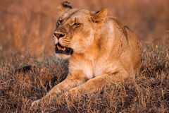 Close-up portrait of a majestic lioness in nature, Africa Stock Image