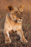 Close-up portrait of a majestic lioness in nature, Africa Royalty Free Stock Images