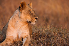 Close-up portrait of a majestic lioness in nature, Africa Royalty Free Stock Image