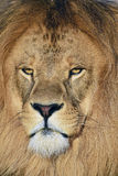 Close up portrait of male African lion Stock Photo
