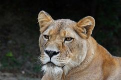 Close up portrait of female African lioness. Close up front portrait of female African lioness looking at camera stock photography
