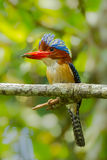 Close up portrait of Male Banded Kingfisher Stock Image