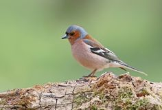 Close up portrait  male of The common chaffinch Fringilla coelebs Royalty Free Stock Image