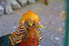 Close-up portrait of the golden pheasant - Chrysolophus pictus. Close-up portrait of the male golden pheasant - Chrysolophus pictus Royalty Free Stock Photography