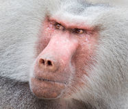 Close up portrait of male hamadryas baboon Stock Images