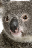 Close-up portrait of male Koala bear royalty free stock image