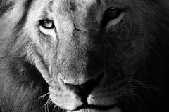 Close-up portrait of a male lion in black and white. Close-up black and white portrait of a male lion Panthera leo. Ol Pejeta Conservancy, Kenya stock photos