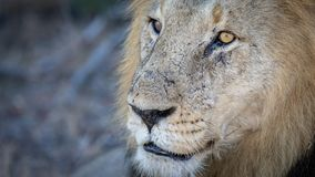 Close up portrait of male lion resting under tree. royalty free stock photos