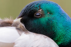 Close-up portrait of male Mallard duck Anas platyrhynchos. In breeding plumage Stock Photography