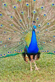 Close-up portrait of male peacock Stock Photos