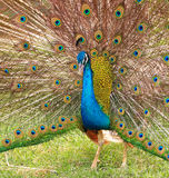 Close-up portrait of male peacock Stock Image