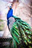 Close up portrait of a male peacock. Royalty Free Stock Photo