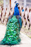Close up portrait of a male peacock. Royalty Free Stock Image