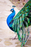 Close up portrait of a male peacock with fully unfolded feathers of his tale. Stock Images