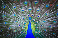 Close-up portrait of male peacock Stock Photography