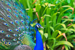 Close-up portrait of male peacock Royalty Free Stock Photo