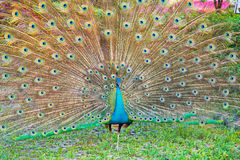 Close-up portrait of male peacock Stock Photo
