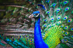 Close-up portrait of male peacock Royalty Free Stock Image
