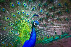 Close-up portrait of male peacock Royalty Free Stock Images