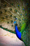 Close-up portrait of male peacock Royalty Free Stock Photos