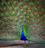 Close-up portrait of male peacock Royalty Free Stock Photography