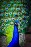 Close-up portrait of male peacock stock images