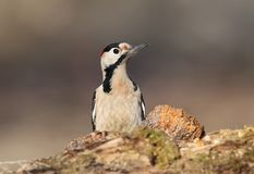 Close up portrait of male syrian woodpecker. In soft morning light Royalty Free Stock Photo