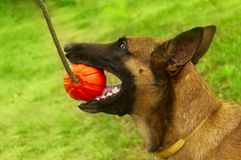 Close-up portrait of a Malinois dog playing chew toys in the park. Stock Photo