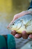 Close up of fisherman holding a freshwater bream. A close up portrait of a man holding a freshwater bream caught while fishing in a river system Stock Images