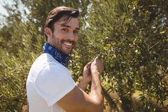 Close up portrait of man holding olive tree at farm. On sunny day Stock Photo